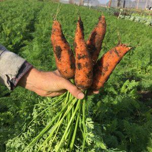 November Carrots